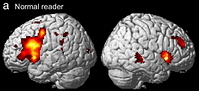 Notre cerveau quand on lit: pas  beaucoup d'activité on dirait! ©Proceedings of The National Academy of Sciences