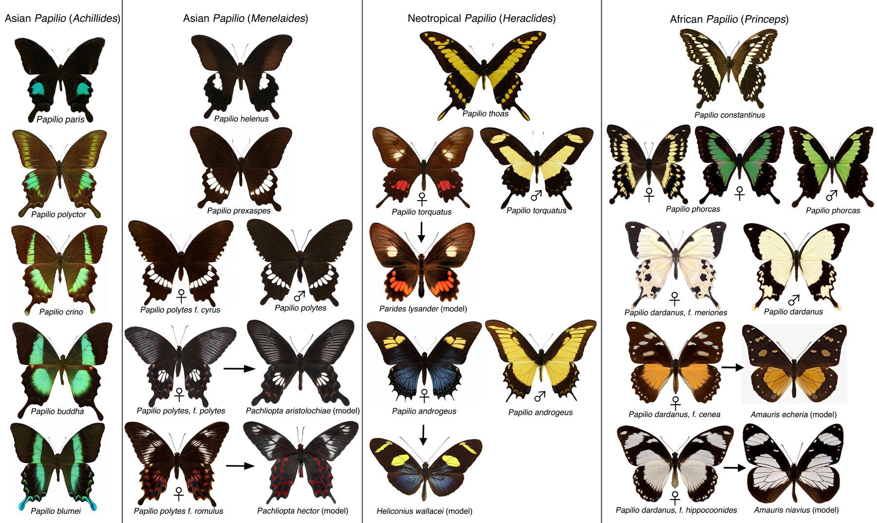 papillons de Wallace