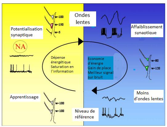 """Durant l'éveil (à gauche), les connexions synaptiques se créent ou se renforcent. Durant la phase de sommeil lente (à droite), ces connexions sont """"renormalisées"""". (Source: Cirelli&Tononi 2006)"""