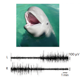 Les ondes lentes observées dans le cerveau d'un beluga durant son sommeil. (Source: Siegel 2005)